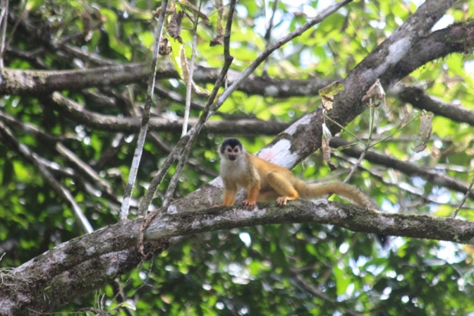 Monkey Lover in the Jungle of Costa Rica